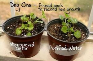 test plante micro-onde jour 1