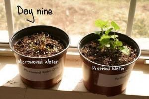 test plante micro-onde jour 9